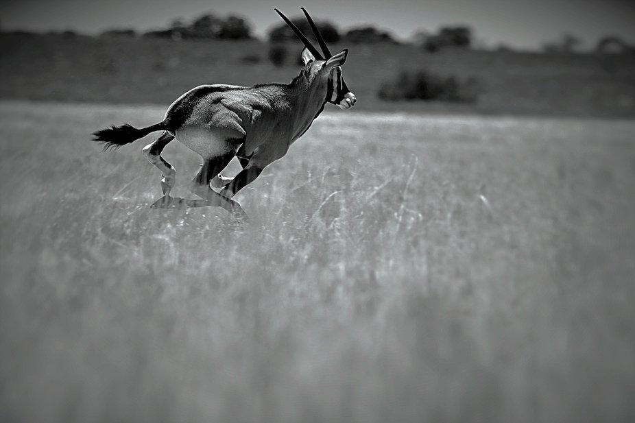 Black and white Gemsbok in the run