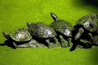Costa Rica Pond turtles