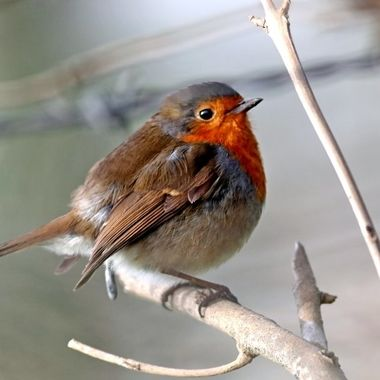 Robin or robin redbreast, Erithacus rubecula