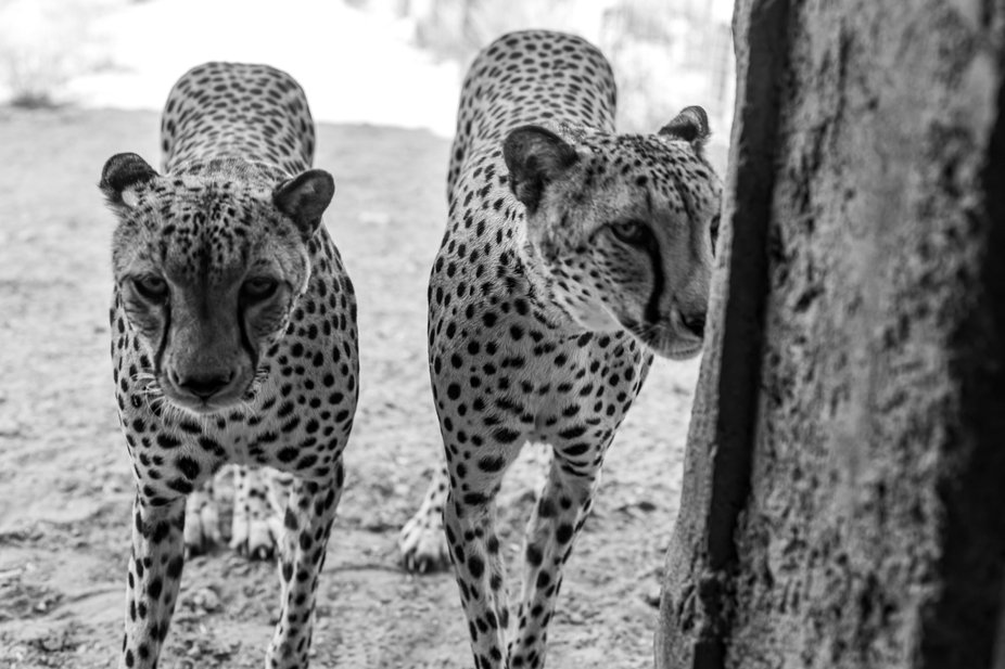 Cheetahs at the Decan Wildlife Refuge in Djibouti