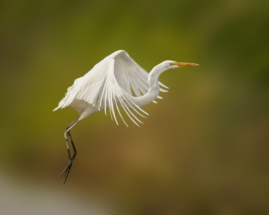 A Great Egret is a rare sight in the Skagit Valley of Washington.