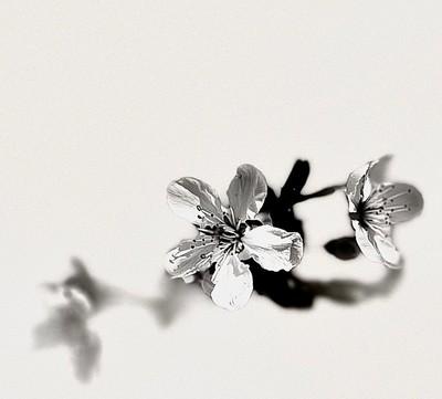 Abstract Plum Tree Blossom