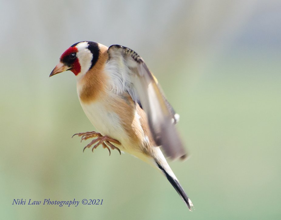 European Goldfinch 'mid air'