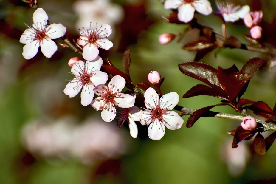 Tiny Plum Blossoms