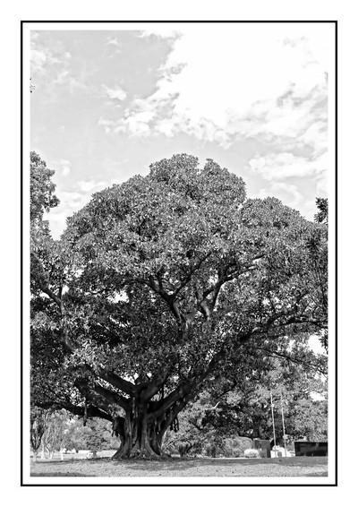 Viel arbre dans un parc à Sydney