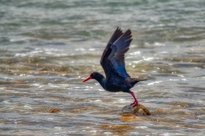 Oystercatcher taking flight