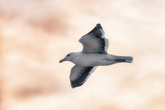 Gull flying by