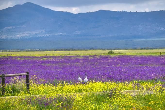 Blue crane in the meadows