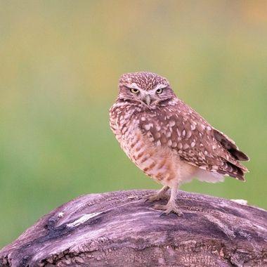 Burrowing Owl DSC00151