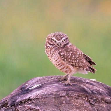 Burrowing Owl DSC00178