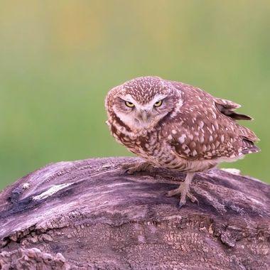 Burrowing Owl DSC00180