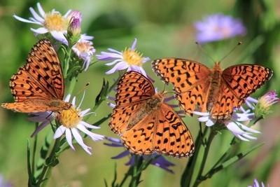 Trio Butterflies, Sequoia