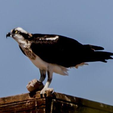 Osprey Hawk
