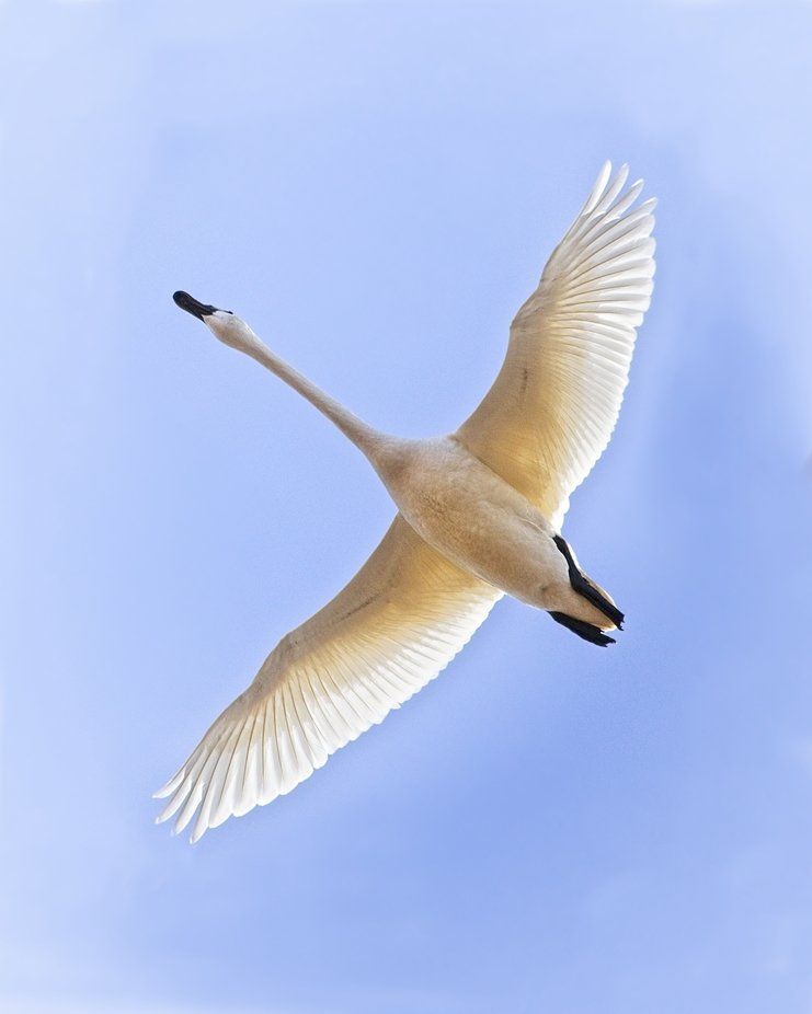 A Trumpeter swan soars above me in the Skagit Valley of Washington. They winter in the valley and will be leaving soon...