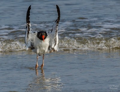 American Oyster Catcher landing