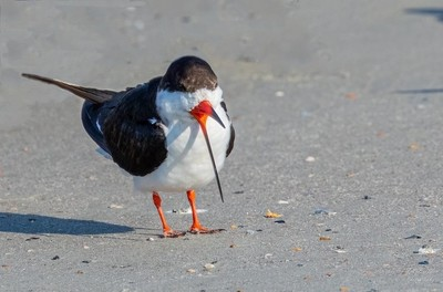 Black Skimmer showing thin bill