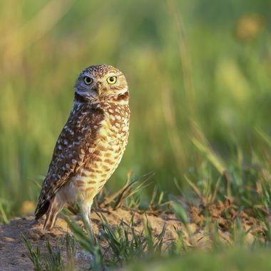 Burrowing Owl DSC00748