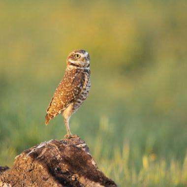Burrowing Owl DSC00655