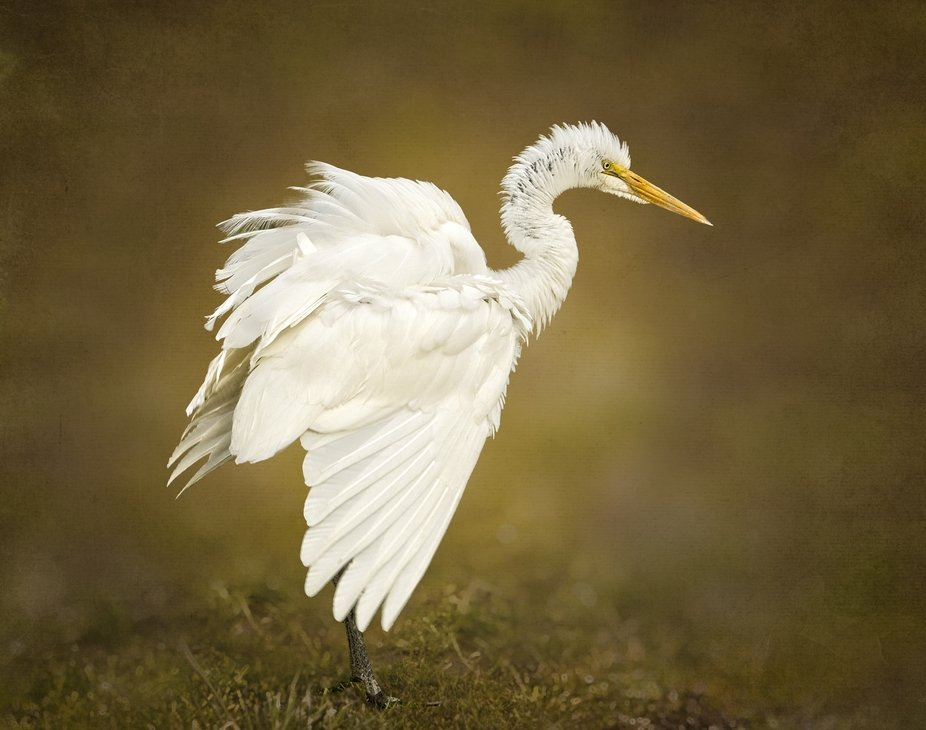 A Great Egret in the farm fields of the Skagit Valley of Washington. Getting ready to take off as I get closer.