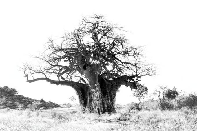 Baobab Black and White
