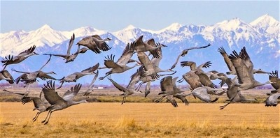 Sandhill cranes1