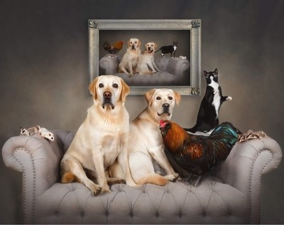 Two yellow Labrador Retrievers, a cat, a rooster, and 4 sugar gliders hang out on a couch with their portrait hanging on the wall behind them.