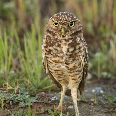 Burrowing Owl DSC00970