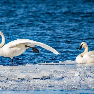 Returning Trumpeter Swans resting in the sun along the Rainy River