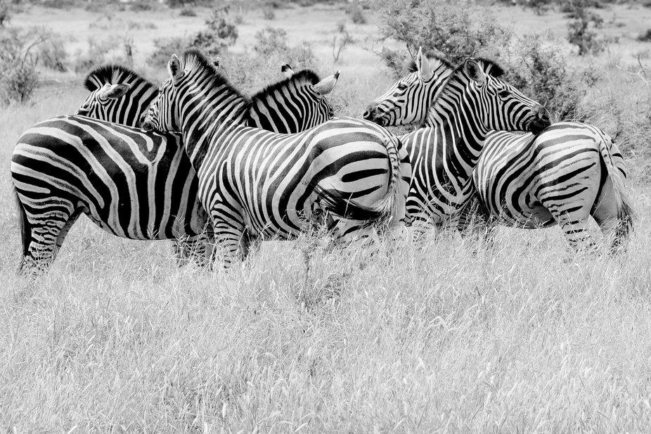 Zebra's love.