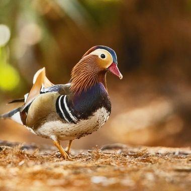 Mandarin Duck DSC02963