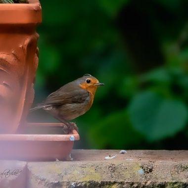 Robin in my garden.