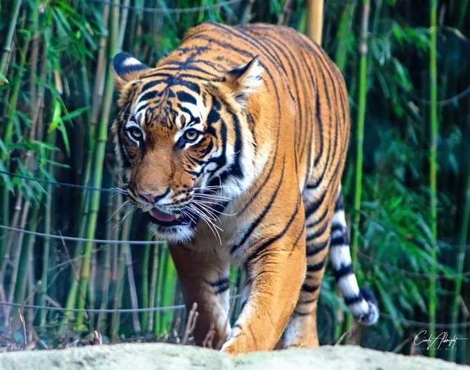 Tiger at the Cincinnati Zoo.