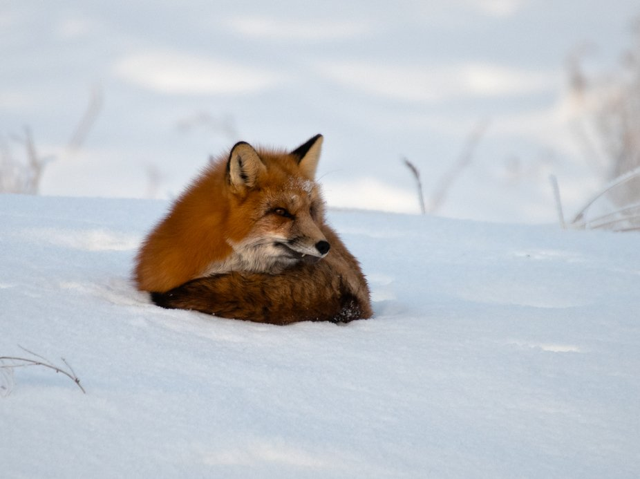 Red fox was people watching along the Alaska highway for over an hour.