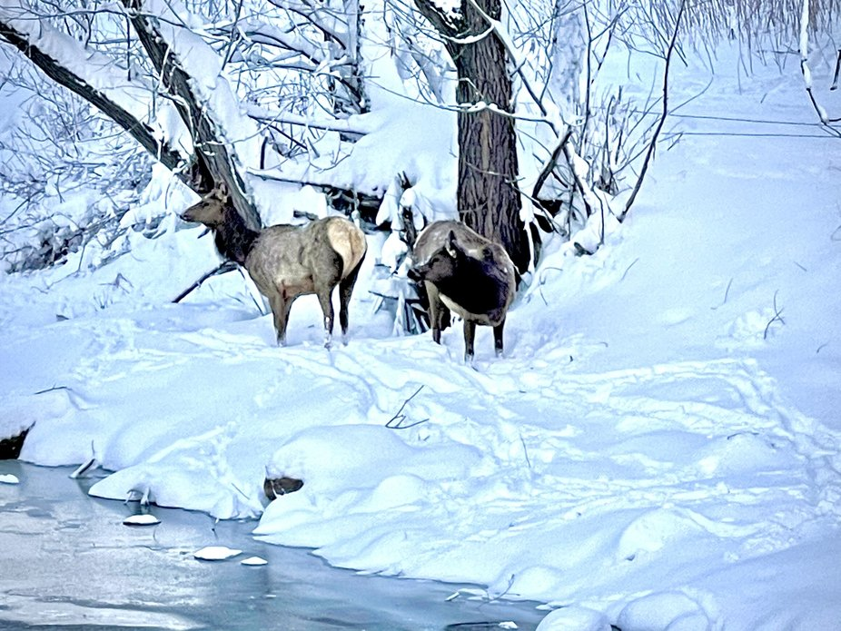 2 young elk weathering a snowstorm near the Big Thompson River 03/15/2021