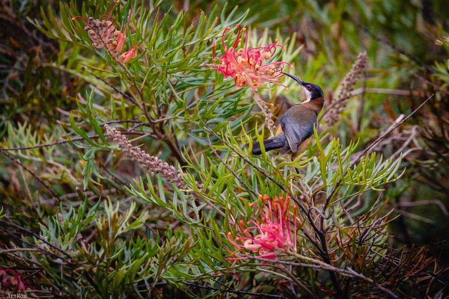 Eastern Spinebill a species of honeyeater found in south-east Australian forest.