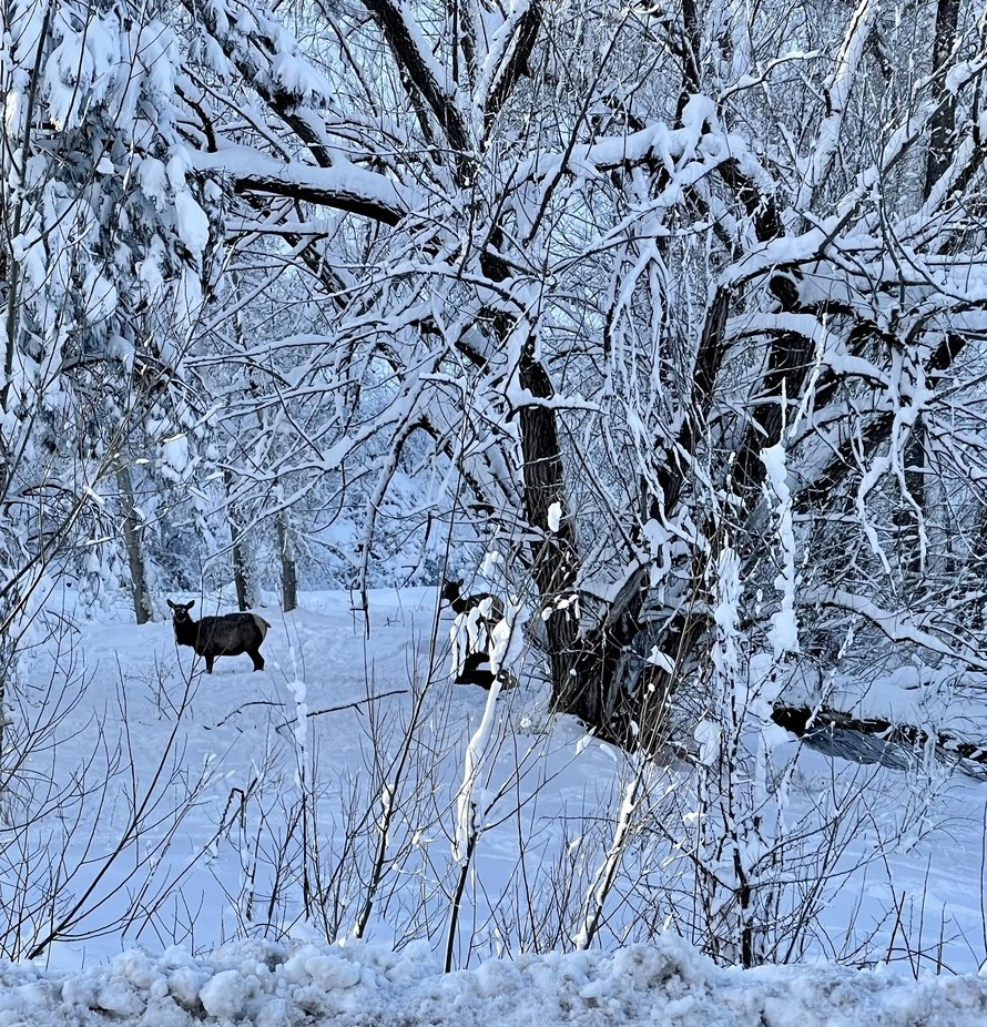 A couple cow elk foraging for some food after the storm near Big Thompson River in Loveland Colorado