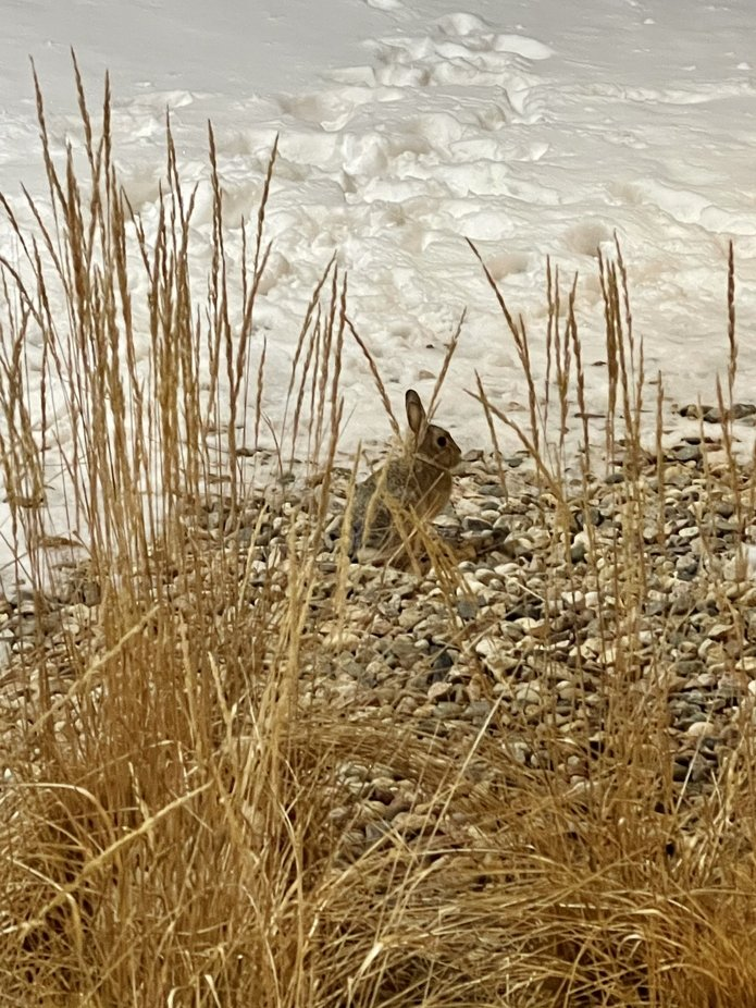 Little bunny rabbit after a winter storm 3/15/2021