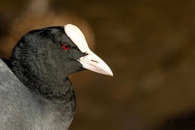 Coot Bird Portrait
