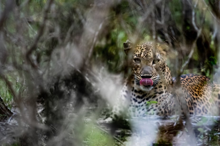 This was taken in Yala National Park, Sri Lanka where around 40-50 leopards are currently living ...