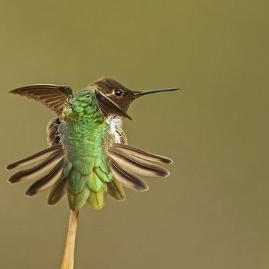 Anna's Hummingbird DSC06186