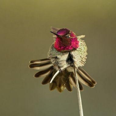 Anna's Hummingbird DSC06279