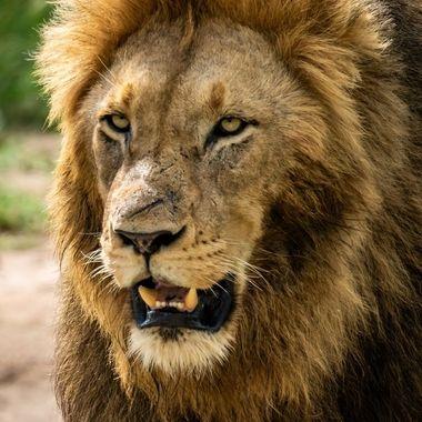 Lion 2020