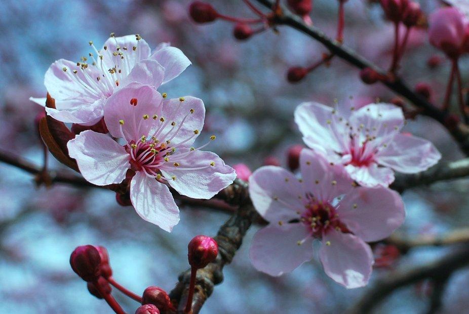 Cherry Blossoms in Burien, WA. Mid-March, 2021