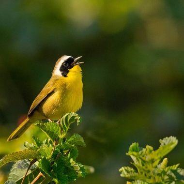 Common Yellowthroat-03366