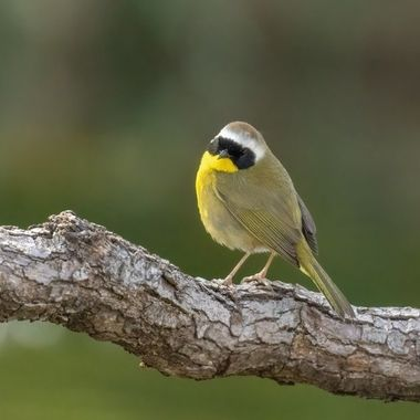 Common Yellowthroat DSC03553