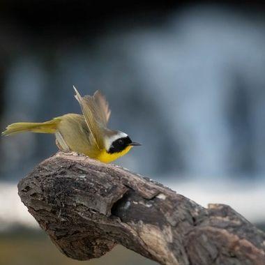 Common Yellowthroat DSC03600