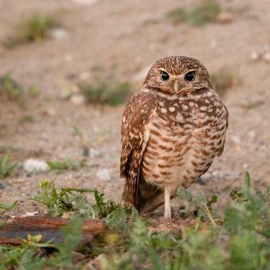 Burrowing Owl DSC03984