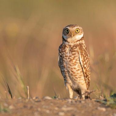 Burrowing Owl DSC04303