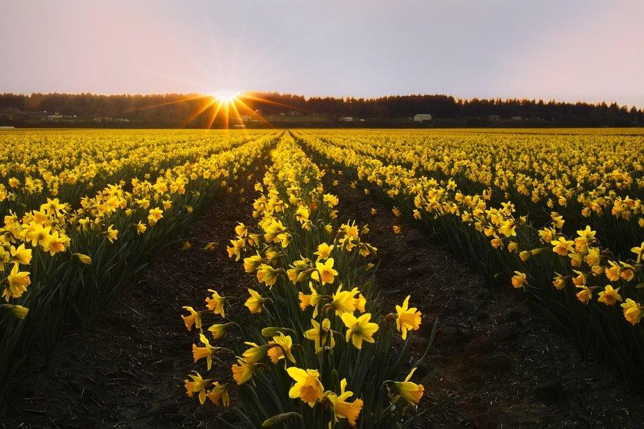 Skagit Valley Daffodil Farm