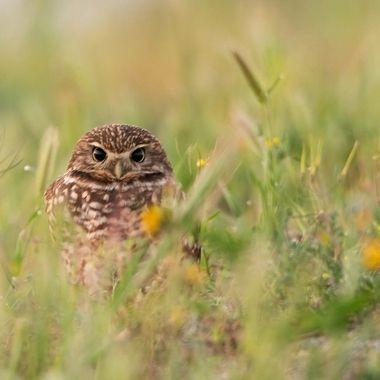 Burrowing Owl DSC04089